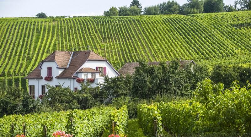 Wenn Sie Eguisheim Elsass besuchen, werden Sie bereits bei der Anfahrt die zahlreichen Weinberge in der Umgebung bemerken. Hierbei handelt es sich um ein Weinanbaugebiet mit großer Bedeutung.